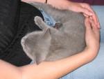 Chat Voyou...Sur mes genoux! - Chartreux  (0 mois)