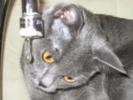 Chat  - Chartreux  (0 mois)