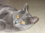 Chat Ushuaia - Chartreux  (0 mois)