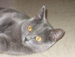 Chat Ushuaia - Chartreux Femelle (0 mois)