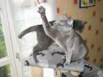 Chat Ushuaia et son plumeau !! - Chartreux  (0 mois)