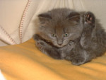 Chat Chaton chartreux - Chartreux  (0 mois)