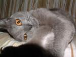 Chat Chartreux - Chartreux  (0 mois)