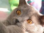 Chat Chartreux - Chartreux Femelle (0 mois)