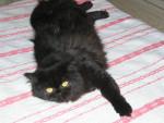 Chat persanne noire - Persan  (0 mois)