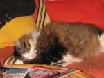 Chat croisé persan et chat de gouttière! \
