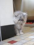 Chat dachka  bébé persan  - Persan  (0 mois)