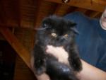 Chat Dontiburse  persan - Persan Femelle (0 mois)