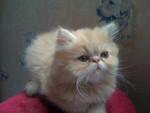 Chat Persan, Ewock de Catsanders - Persan  (0 mois)