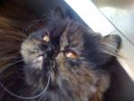 Chat Persan, Daisy Mae - Persan Femelle (0 mois)
