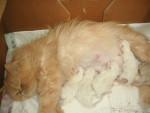 Chat Canel est c\'est bébés 2010 persan - Persan  (0 mois)