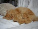 Chat Boulou - Persan Femelle (0 mois)