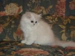 Chat Persan Chinchilla - Persan Femelle (3 mois)