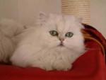 Chat Persan Chinchilla - Persan Femelle (0 mois)