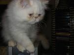 Chat Persan colourpoint - Persan Femelle (4 mois)