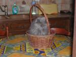Chat Persan bleu creme - Persan Femelle (0 mois)
