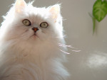 Chat Persan argent - Persan Femelle (0 mois)