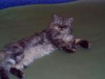 Chat Persan bleue - Persan Femelle (0 mois)