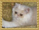 Chat Persan - Persan Femelle (3 mois)