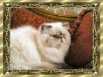 Chat Persan - Persan Femelle (0 mois)