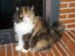 Chat Alice - Persan Femelle (0 mois)