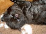 Chat Britany - Persan Femelle (0 mois)