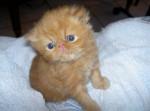 Chat Bounty - Persan Femelle (0 mois)