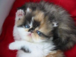 Chat Baby Doll - Persan Femelle (0 mois)