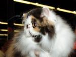 Chat Béverley Hill's - Persan Femelle (0 mois)