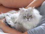 Chat Casper - Persan Femelle (0 mois)