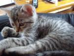 Chat moufle - Angora turc Femelle (2 mois)