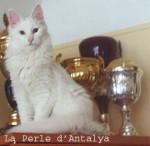 Chat Angora Turc - Angora turc  (0 mois)