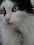 Chat Mercredi (Angora turc) - Angora turc  (0 mois)