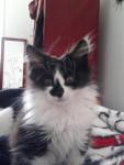 Chat angora turc  Elliot - Angora turc  (0 mois)
