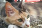 Chat angora turc Diva des reves de lola - Angora turc Femelle (0 mois)