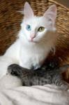 Chat Doudinka angora turc blanche aux yeux impairs - Angora turc  (0 mois)