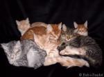 Chat Toute la petite famille - Angora turc  (0 mois)