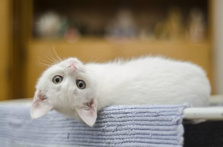 chat angora turc prix