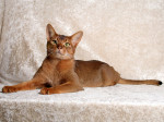 Chat L'Abyssin - Abyssin  (0 mois)