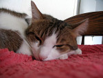 Chat Sleeping beauty - Abyssin  (0 mois)