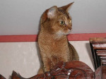 Chat Abyssin - Abyssin Femelle (0 mois)