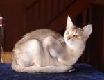 Chat Asy Suri'Cat - Abyssin Femelle (0 mois)