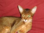 Chat ANNAPURNA - Abyssin Femelle (0 mois)