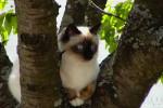 Chat Ti loup sur son arbre - Sacré de Birmanie  (0 mois)