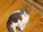 Chat Laki -  Femelle (1 mois)