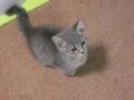 Chat Grayou -  Femelle (5 mois)