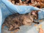 Chat Nefer-titi -  Femelle (2 ans)