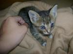Chat Miku -  Femelle (2 mois)