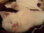 Chat Flöchen -  Femelle (2 ans)