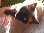 Chat Chiquitta -  Femelle (3 ans)